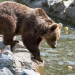 Brown bear in Wroclaw Zoo