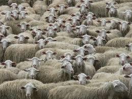 India. Moglie scappa con l'amante: ex marito risarcito con 71 pecore