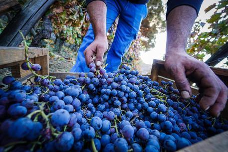 Inchiesta nell'Oltrepò Pavese, 5 arresti per falso vino doc