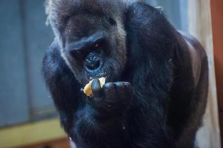 Gorilla attacca una guardiana allo zoo di Madrid, è grave